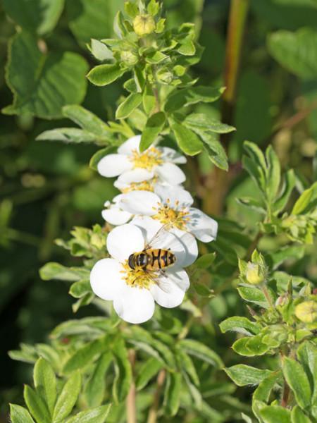 Fingerstrauch mandshurica Pflanze