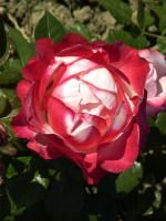 Rose Nostalgie ® - Tantau
