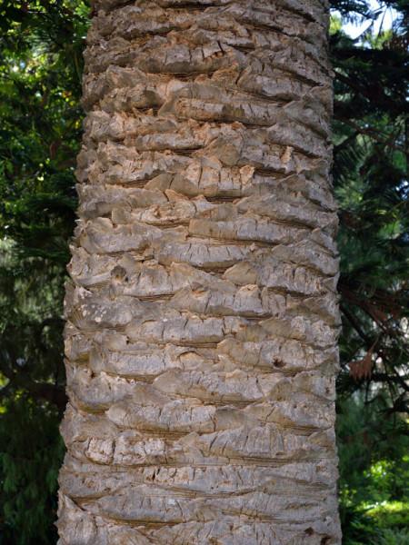 Stamm der Kanarischen Dattelpalme