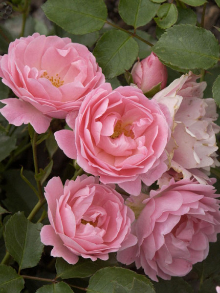 Blüte der Rose Sommerwind