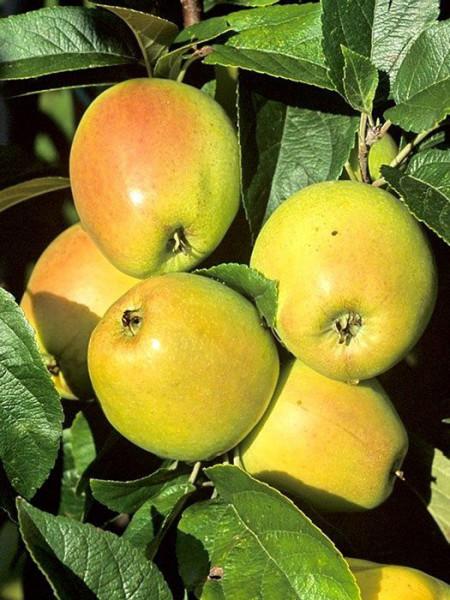 Apfel Weißer Winterglockenapfel