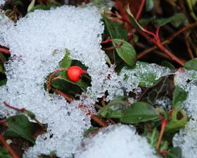 winterharte-Bodendecker