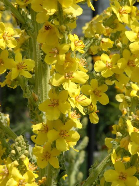 Verbascum nigrum, Dunkle Königskerze, Schwarze Königskerze