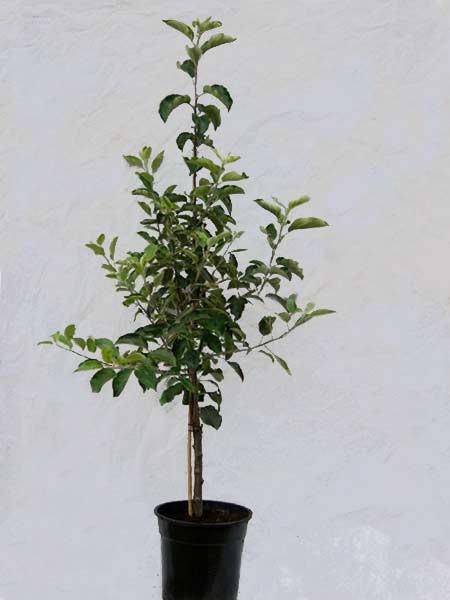 Familien-Apfelbaum