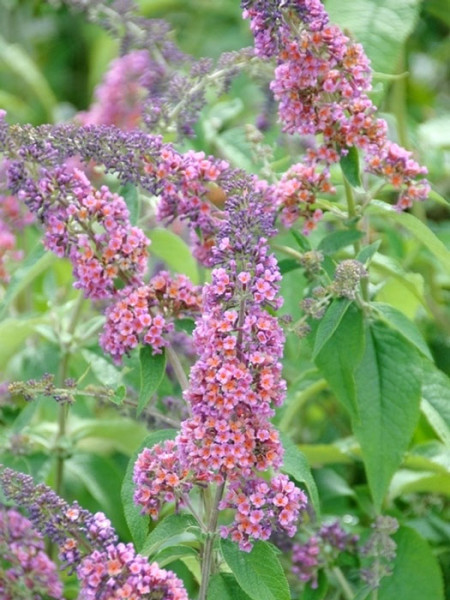 Der Sommerflieder 'Flower Power' während seiner Blüte