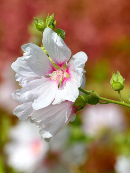 Lavatera olbia 'Baby Barnsley', Buschmalve