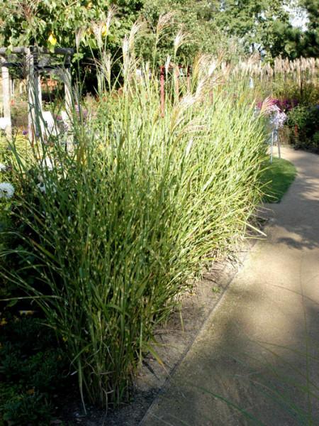 Miscanthus sinensis 'Strictus', Steifes Zebra-China-Schilf, Stachelschwein-Gras