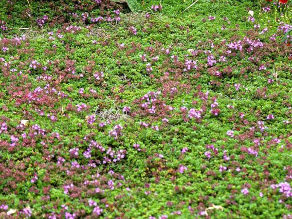 Thymus serpyllum 'Coccineus' (M), Roter Sandthymian, Teppich-Thymian