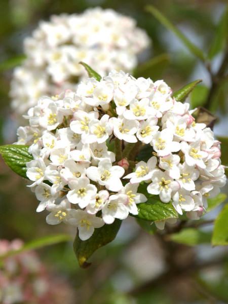 Oster-Schneeball Blüte