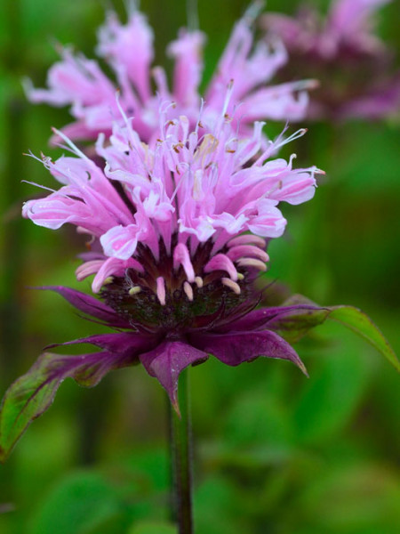 Monarda fistulosa 'Beauty of Cobham' (M), Indianernessel