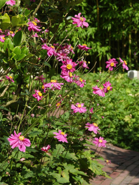 Die Anemone ' PrinzHeinrich' während ihrer Blütezeit