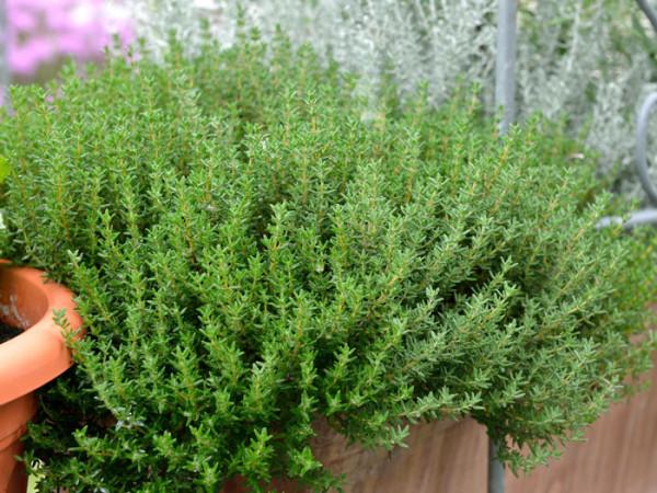 Thymus vulgaris 'Compactus', Zwerg-Thymian