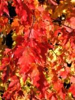 Acer ginnala (syn. tatarica), Feuerahorn