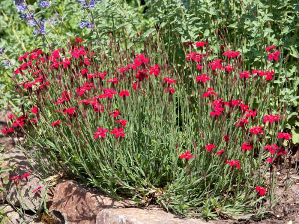 Dianthus deltoides 'Leuchtfunk', rote Heidenelke, Steinnelke