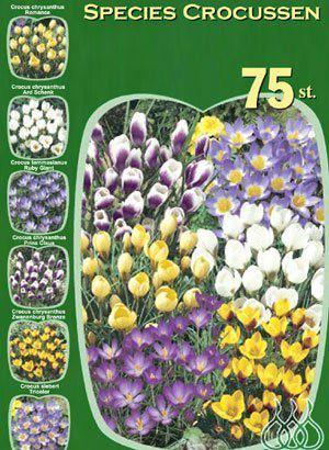 Botanische Krokus-Prachtmischung (Art.Nr. 598226)