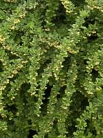 Berberis thunbergii, Grüne Hecken-Berberitze