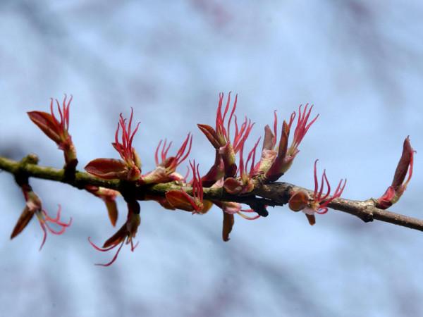 Cercidiphyllum japonicum, Kuchenbaum