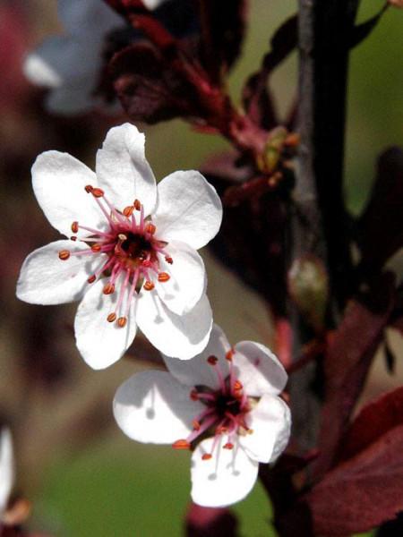 Zwerg-Blutpflaume Blüte