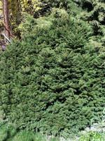 Picea abies 'Nidiformis', Nest-Fichte