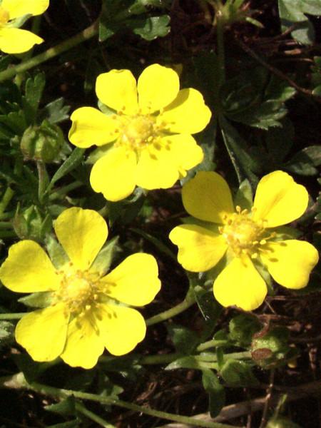 Potentilla neumanniana (syn. verna), Frühlings-Fingerkraut