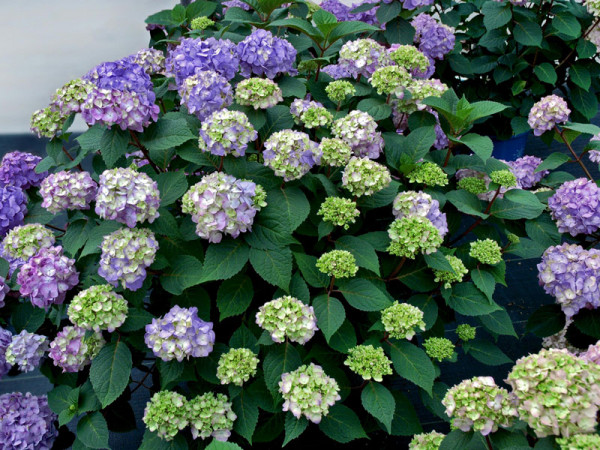 Hydrangea macrophylla 'Endless Summer BloomStar'®