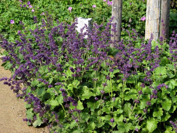 Salvia verticillata 'Purple Rain', Quirlblütiger Wildsalbei