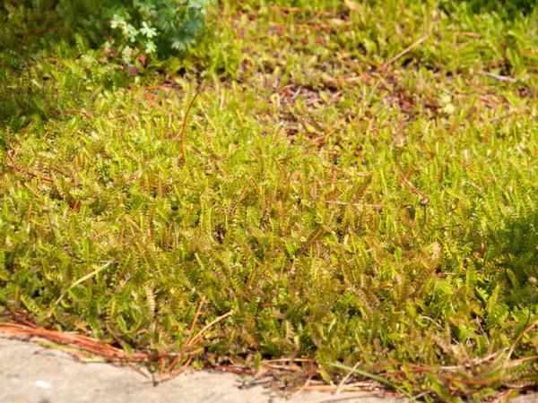 Das Fiederpolster 'Minima' als Bodendecker