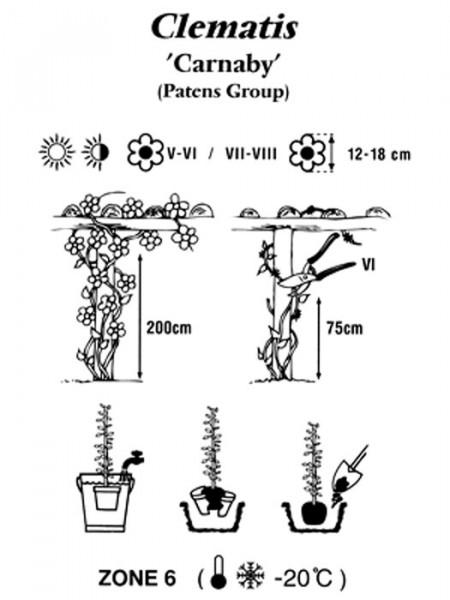 Pflanzbeschreibung für die Clematis