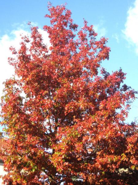 Quercus rubra, Amerikanische Rot-Eiche