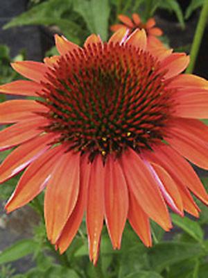 Echinacea purpurea 'Sundown', Scheinsonnenhut