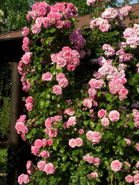 Strauch der Rose Rosarium Uetersen