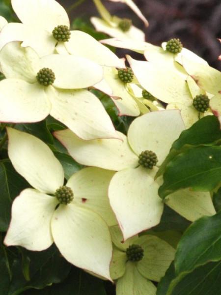 creme-weiße Blüten zieren den Blumenhartriegel