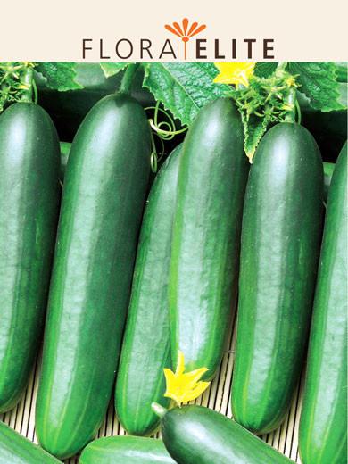 Salatgurke 'Konsa F1' (Art.Nr. 21135)