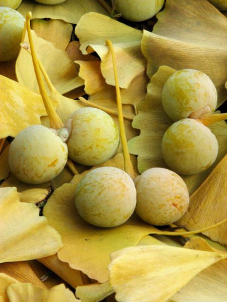 Die Früchte des Fächerblattbaums