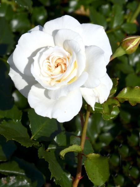 Blüte der Rose Petticoat