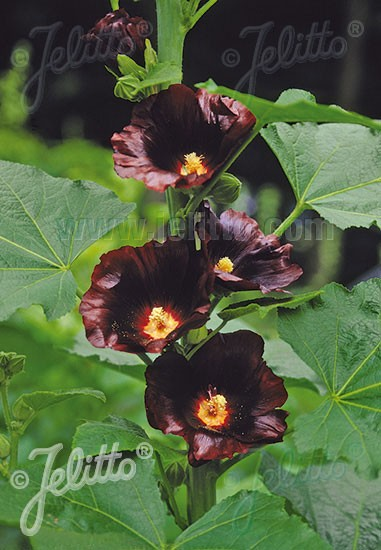 Alcea rosea 'Blacknight', Stockrose, englische Stockrose, Spotlight-Stockrose