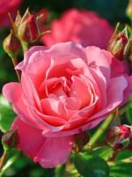 Rose Mein schöner Garten ® - Kordes
