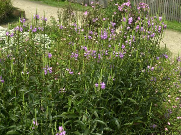 Physostegia virginiana 'Bouquet Rose', Garten-Gelenkblume