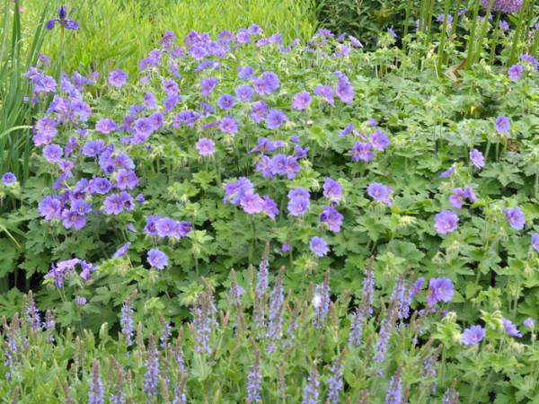 Geranium magnificum 'Rosemoor', Pracht-Storchschnabel, Großer Gartenstorchschnabel