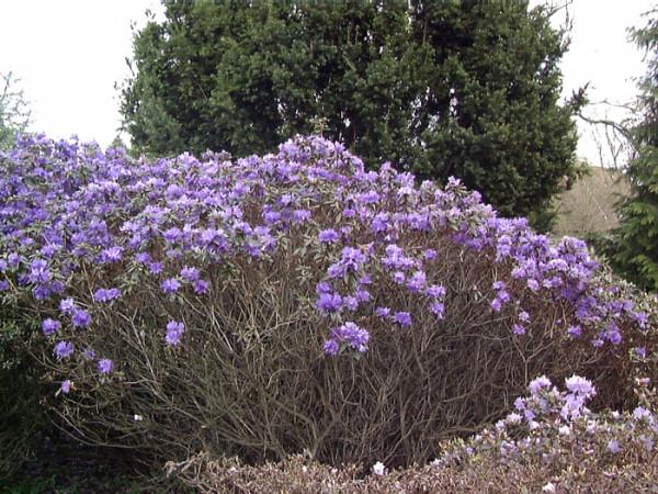 Rhododendron russatum 'Gletschernacht'