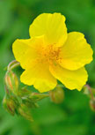 helianthemum-golden-queen56d6f4a6a744d