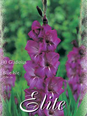 Großblumige Gladiole 'Blue Isle', Gladiolus (Art.Nr. 521250)