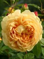 Rose Golden Celebration ® - Austin
