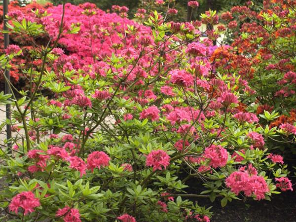 Rhododendron luteum 'Homebush', sommergrüne japanische Gartenazalee