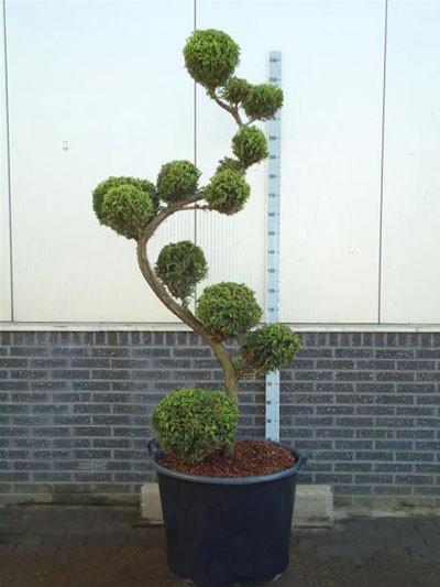 Cryptomeria japonica 'Rasen', XXL-Produkt