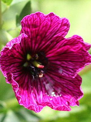 Geranium cinereum 'Purple Pillow', Aschgrauer Storchschnabel