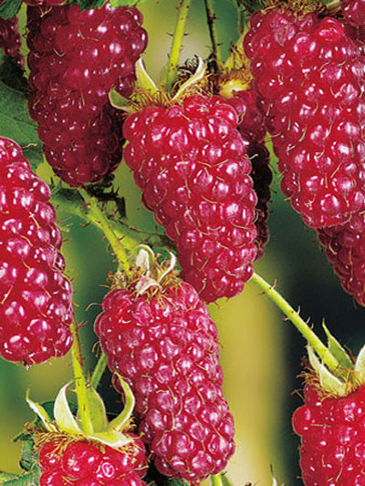 Him-/Brombeere 'Tayberry Buckingham'®