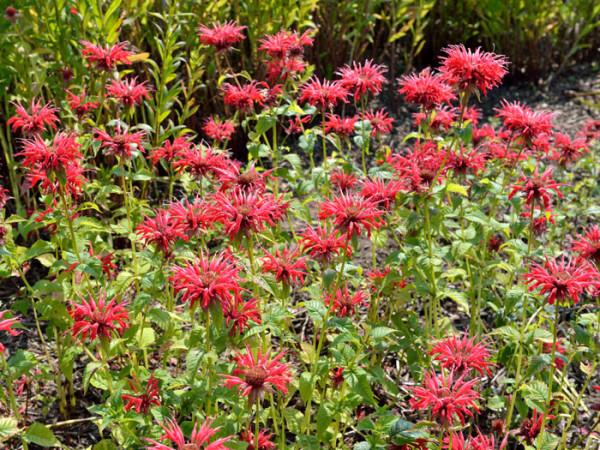 Monarda fistulosa 'Gardenview Red', Indianernessel