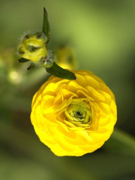 Ranunculus acris 'Multiplex', Gefüllter Hahnenfuß, Scharfer Hahnenfuß