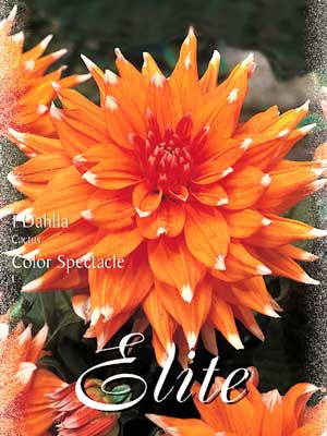 Kaktus-Dahlie 'Color Spectacle', Dahlia (Art.Nr. 520016)